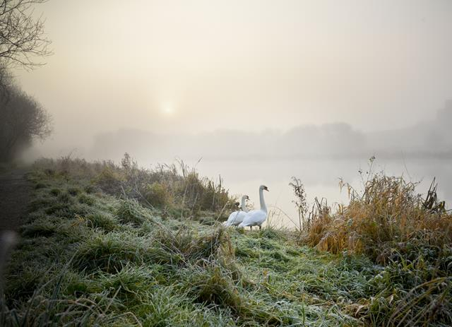'Winter swans' by Emma McEntee